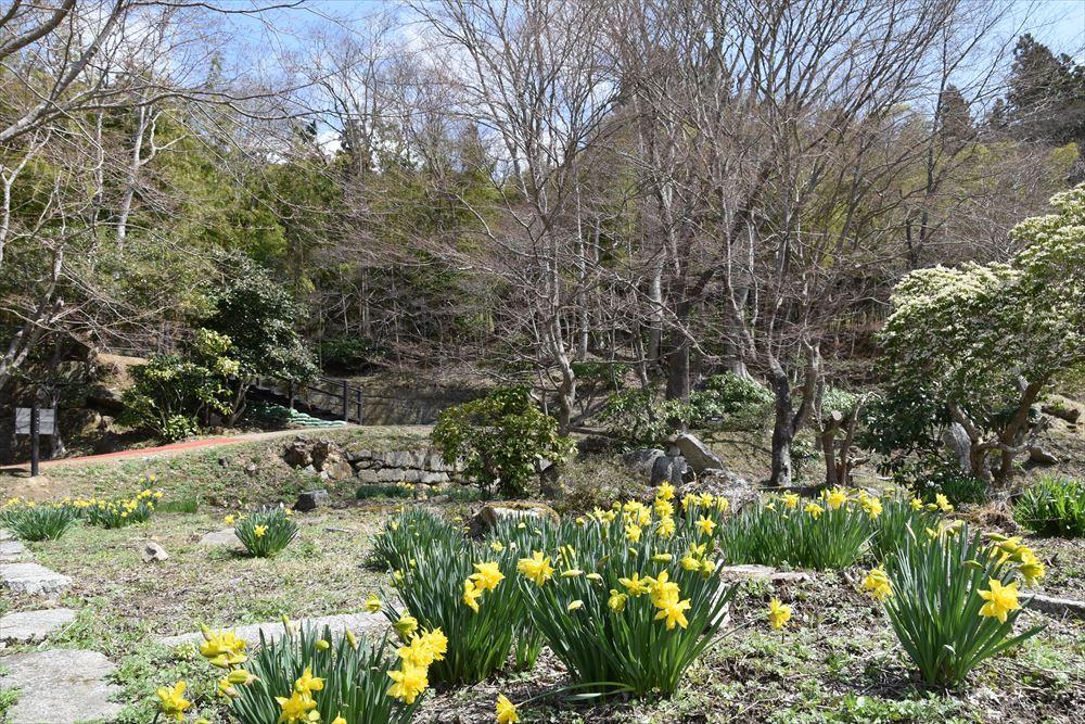 葛尾大尽屋敷跡公園の近江八景庭園に咲くスイセン