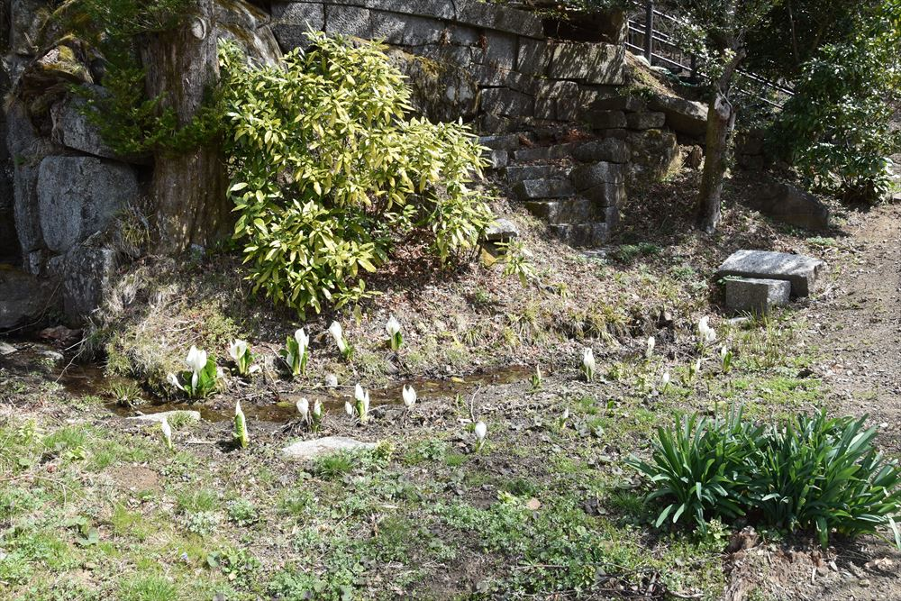 葛尾大尽屋敷跡公園の水場に咲く水芭蕉