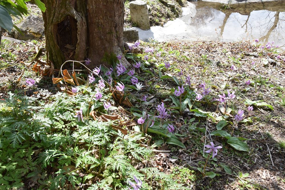 葛尾大尽屋敷跡公園で木の株元に群生するカタクリ