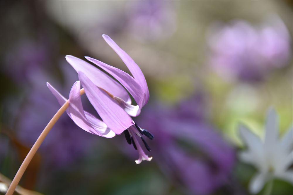 葛尾大尽屋敷跡公園で可憐に咲くカタクリ