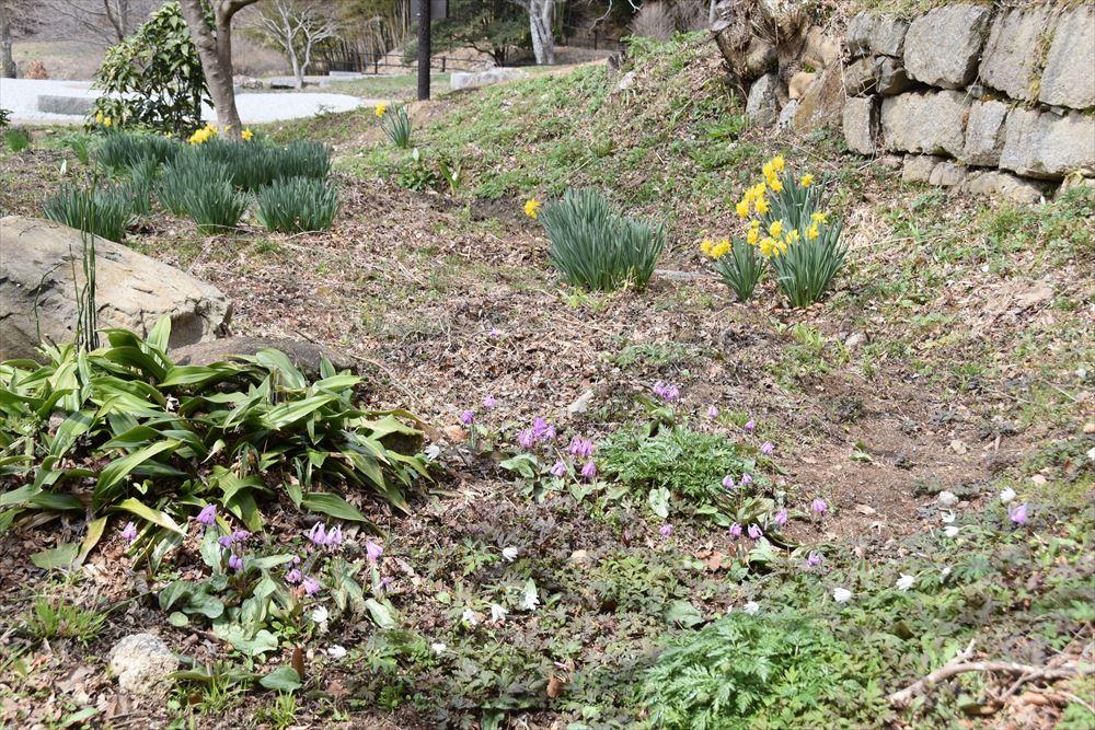 葛尾大尽屋敷跡公園に咲くカタクリとスイセン、白い花はアネモネ