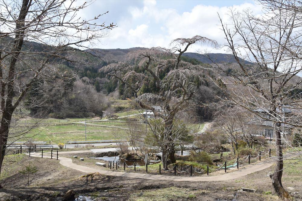 葛尾大尽屋敷跡公園のシダレザクラは、まだこれから