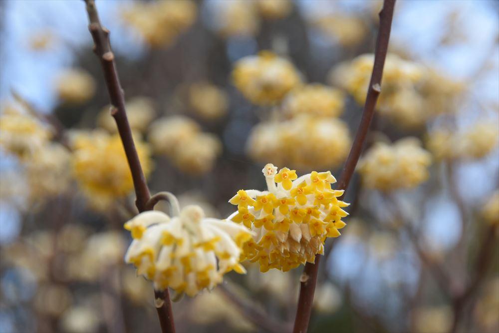 葛尾大尽屋敷跡公園に咲くミツマタ