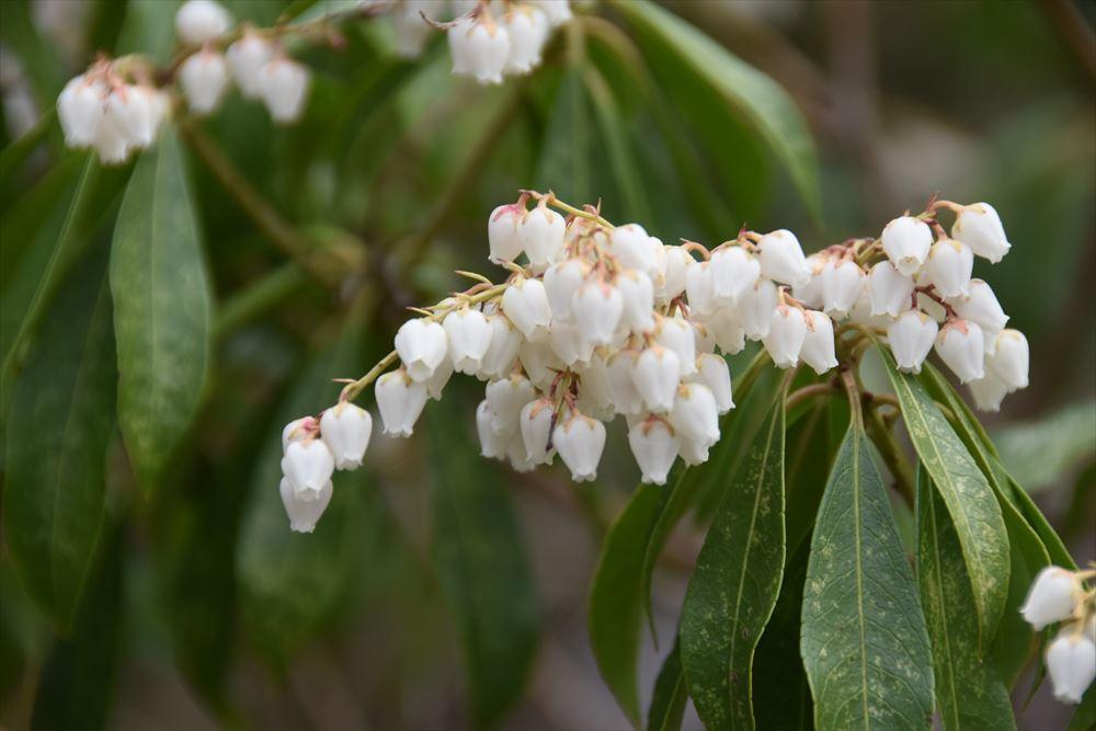 葛尾大尽屋敷跡公園に咲くアセビ(アシビ)の花