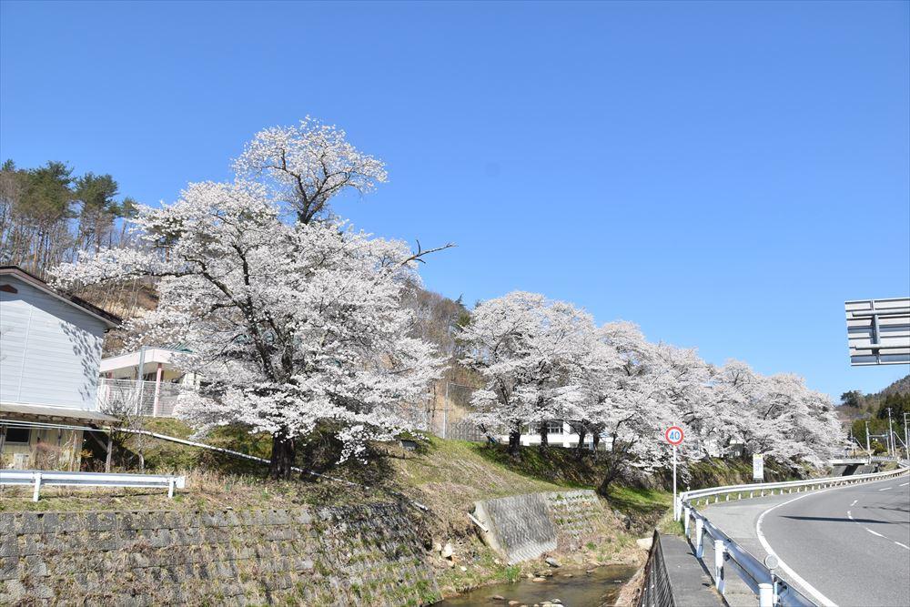 葛尾村役場前の桜並木