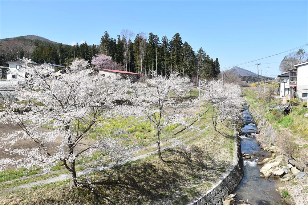 野川川の桜並木