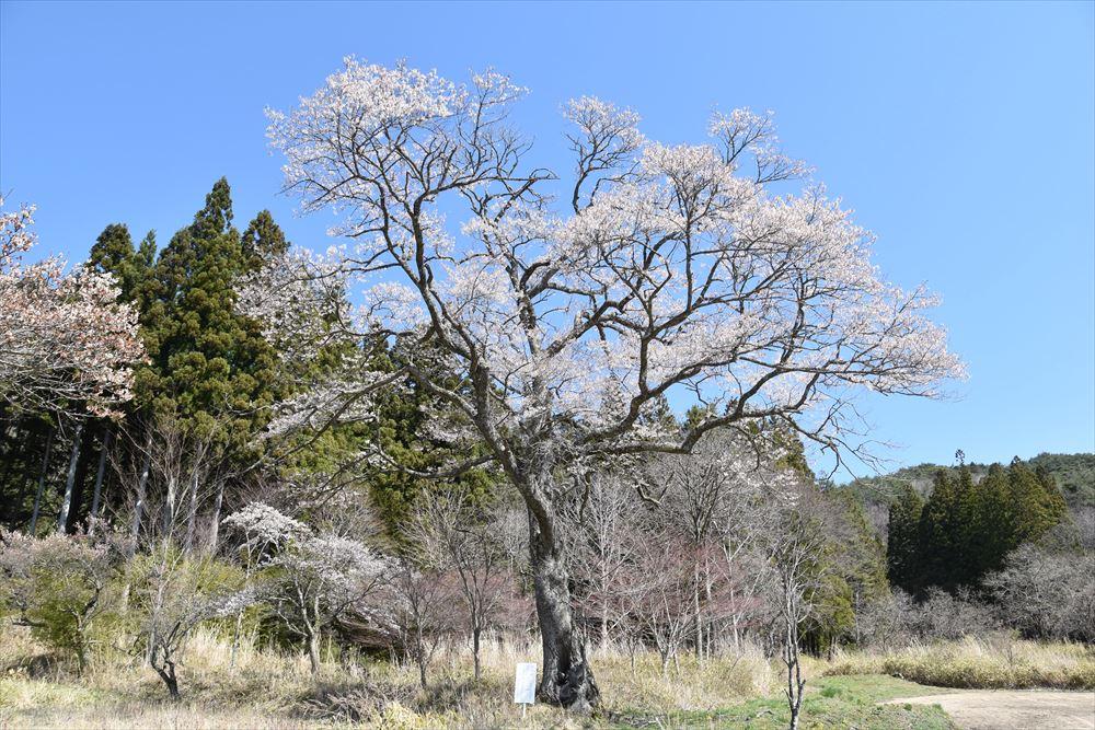 種まき桜(観照寺)