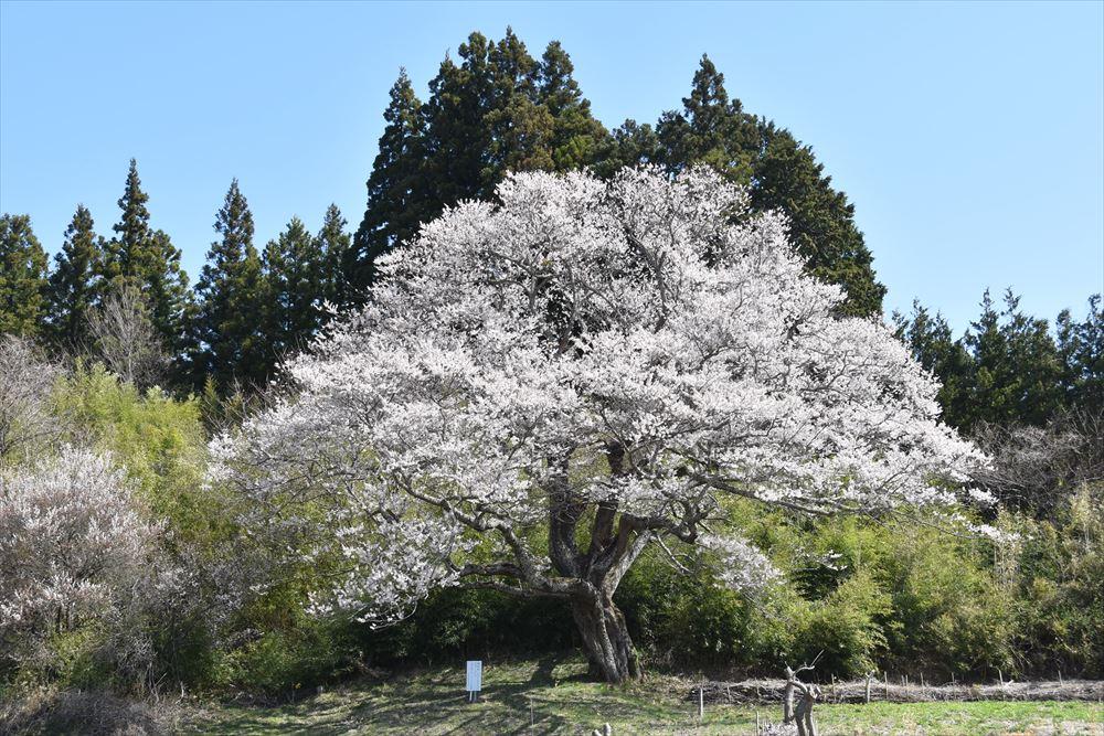 種まき桜(上野川)