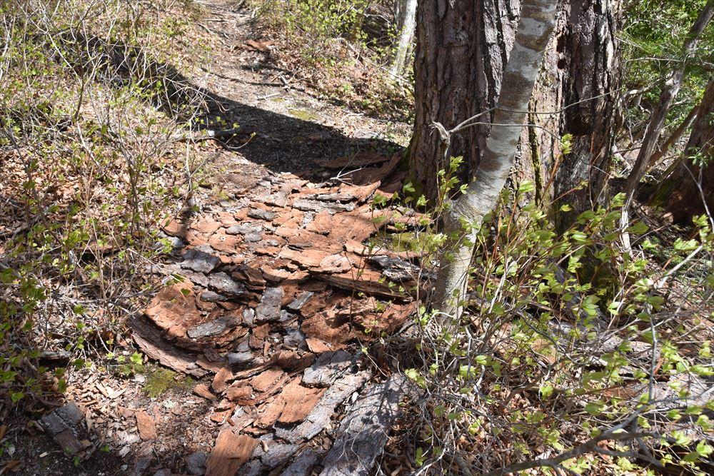 スギの立木から剥がれ落ちた樹皮