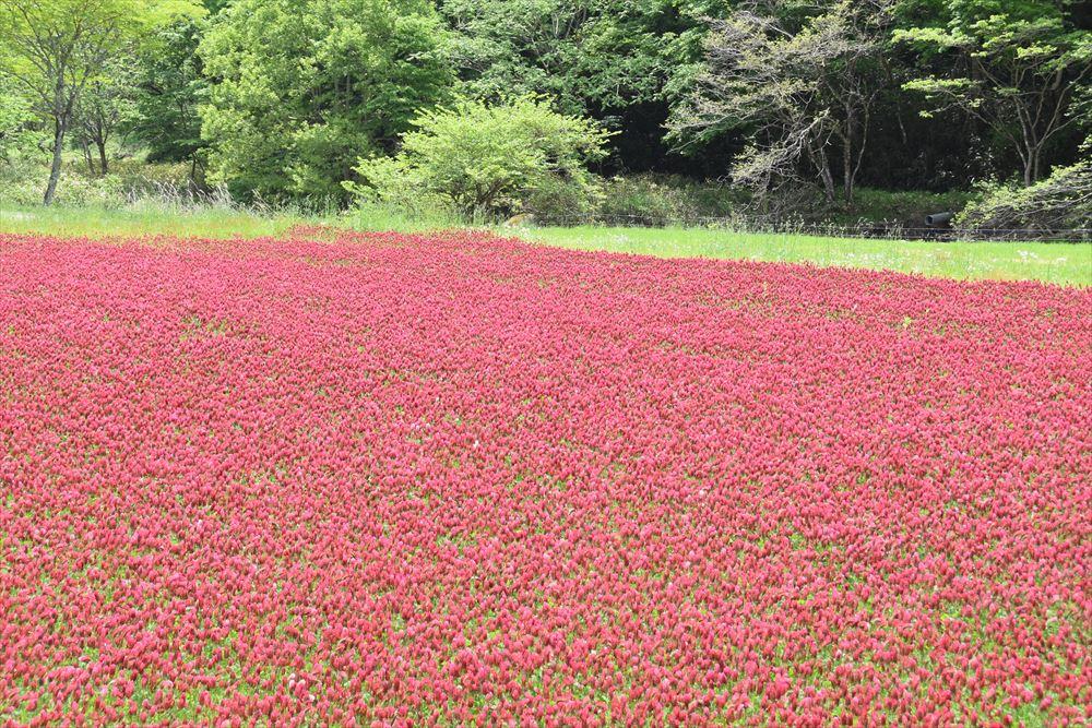葛尾村大放地区に咲くクリムゾンクローバー