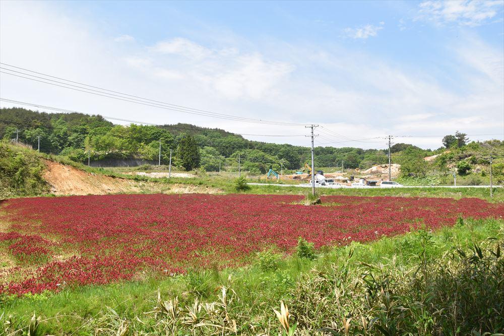 葛尾村大笹地区に咲くクリムゾンクローバー