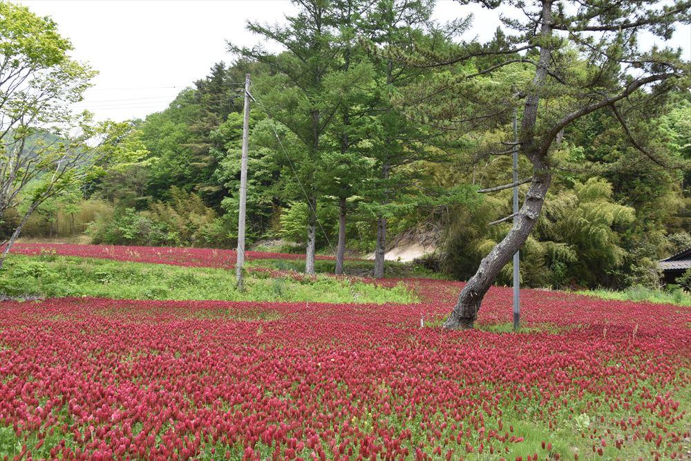 葛尾村上葛尾地区に咲くクリムゾンクローバー