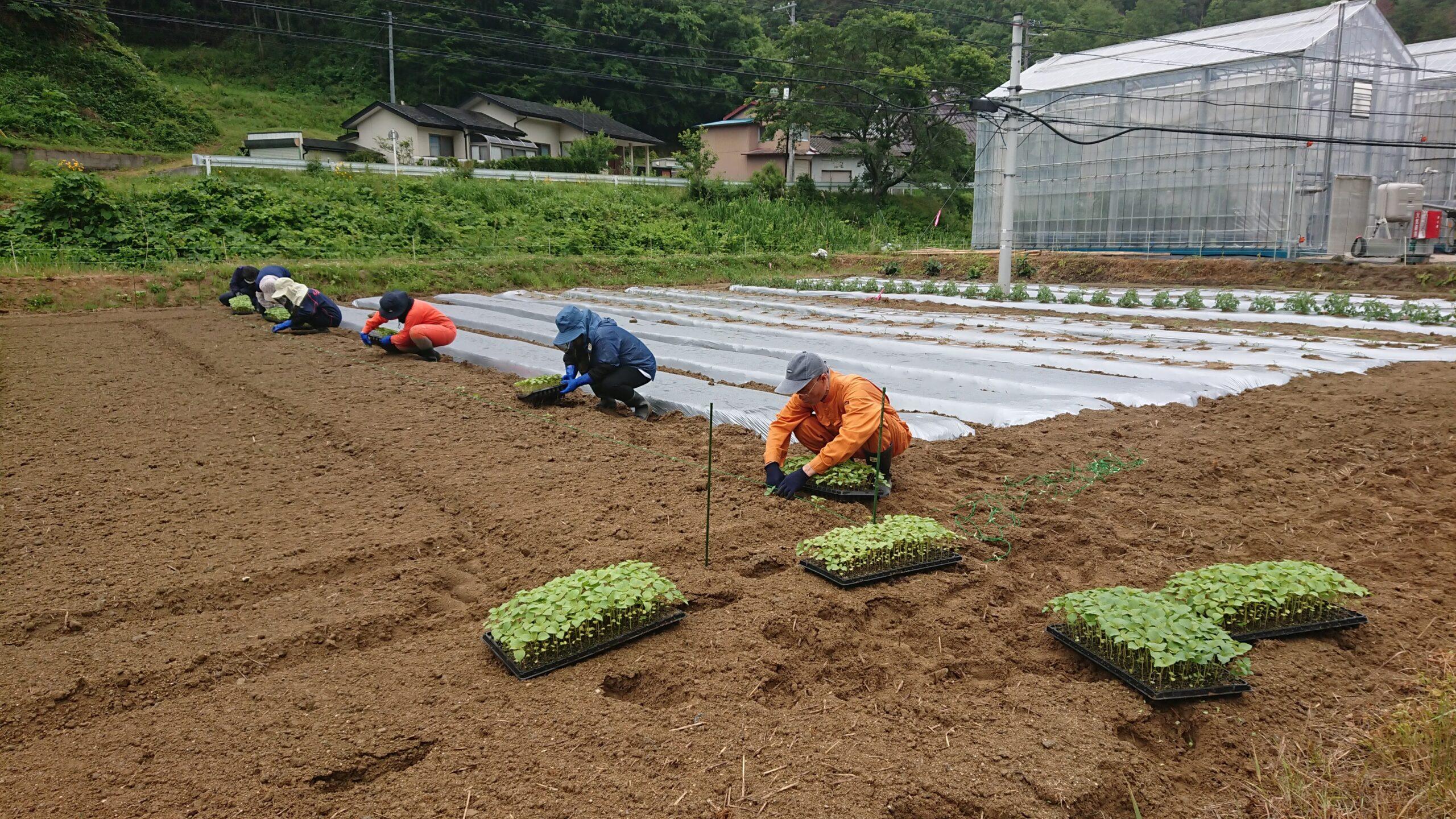 公社メンバーでエゴマの苗を定植