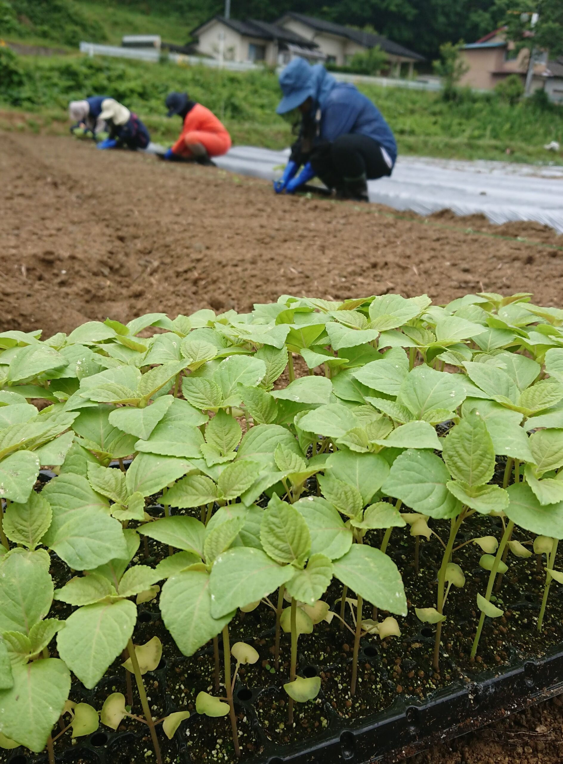 15センチほどに生長したエゴマの苗を定植