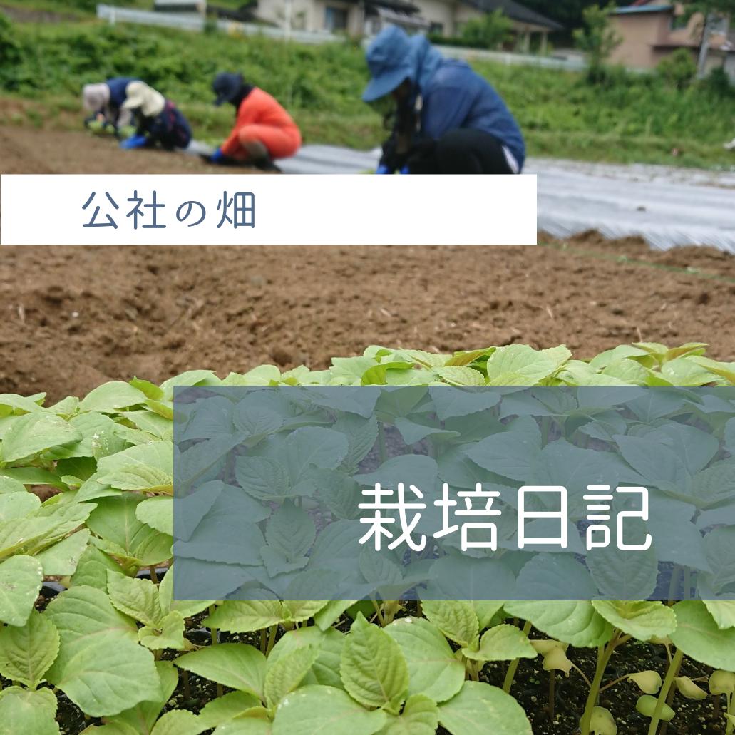 アイキャッチ_公社の畑栽培日記